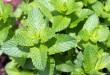 Cách trị hôi miệng hiệu quả vĩnh viễn bằng thảo dược thiên nhiên